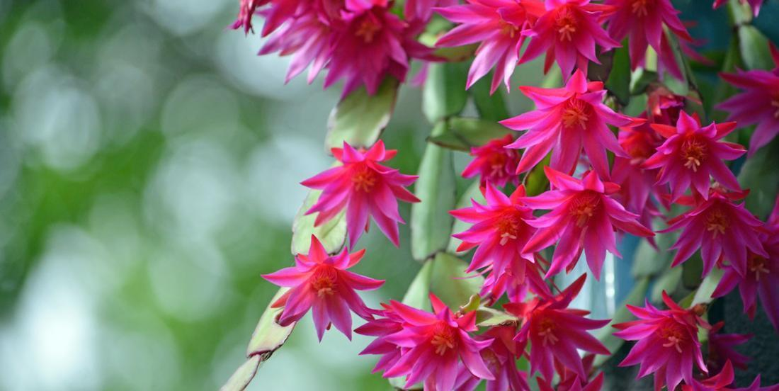 Here is the proper way to maintain a Christmas cactus and make it bloom again