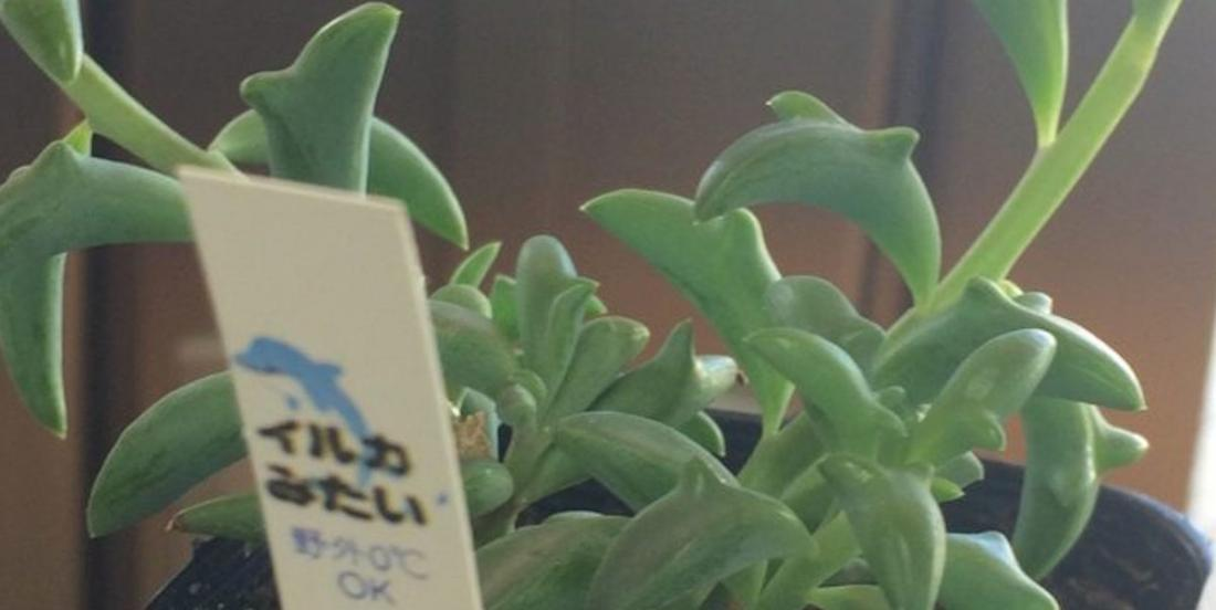 """Don't have a green thumb? Then these """"dolphin"""" plants are just perfect for you"""