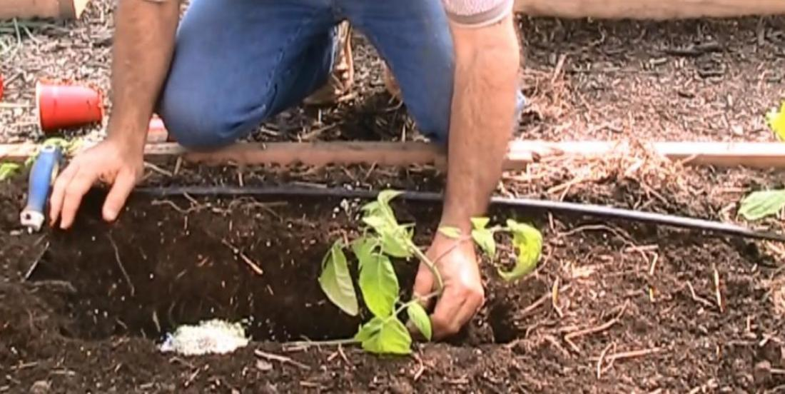 Look what happens if you plant your tomatoes this way! It's crazy!