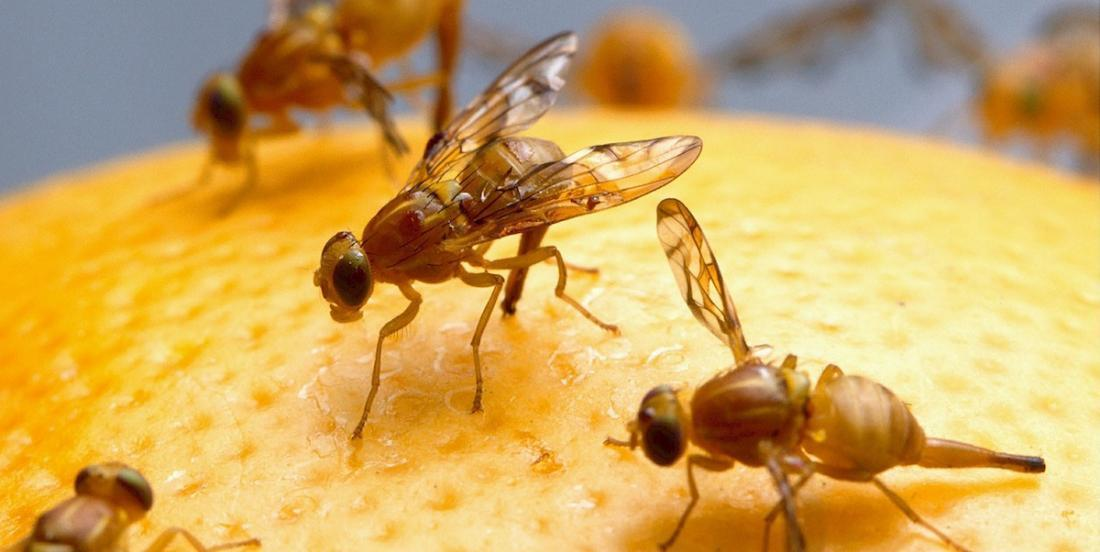 Here are 6 quick and easy ways to get rid of fruit flies