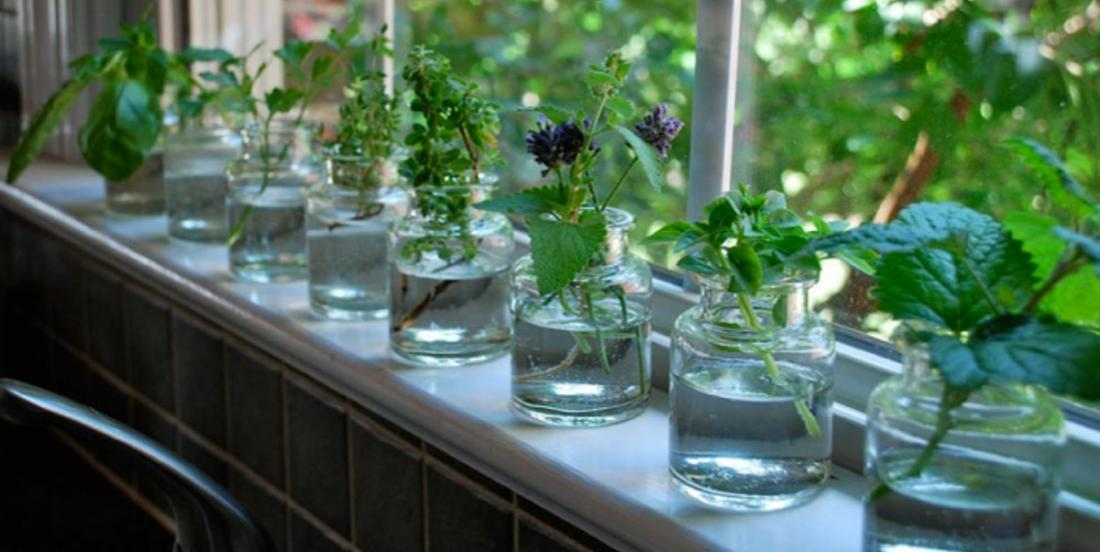 12 herbs you can grow in water, all year round!