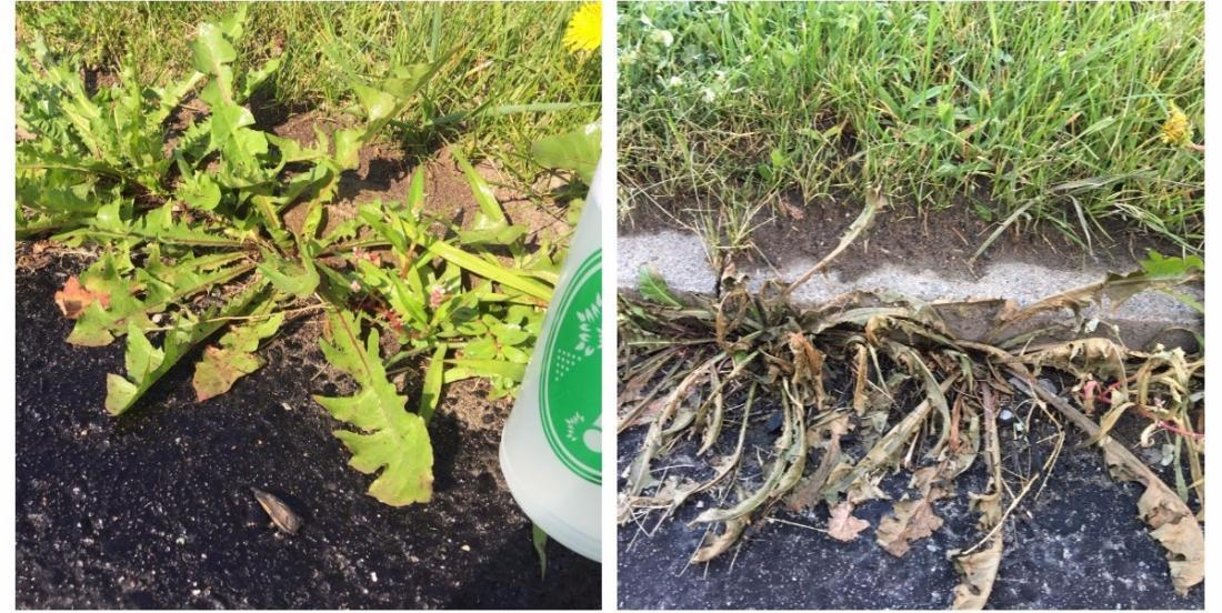 Dead within 5 hours: 5 homemade weed killers that weeds deeply hate!