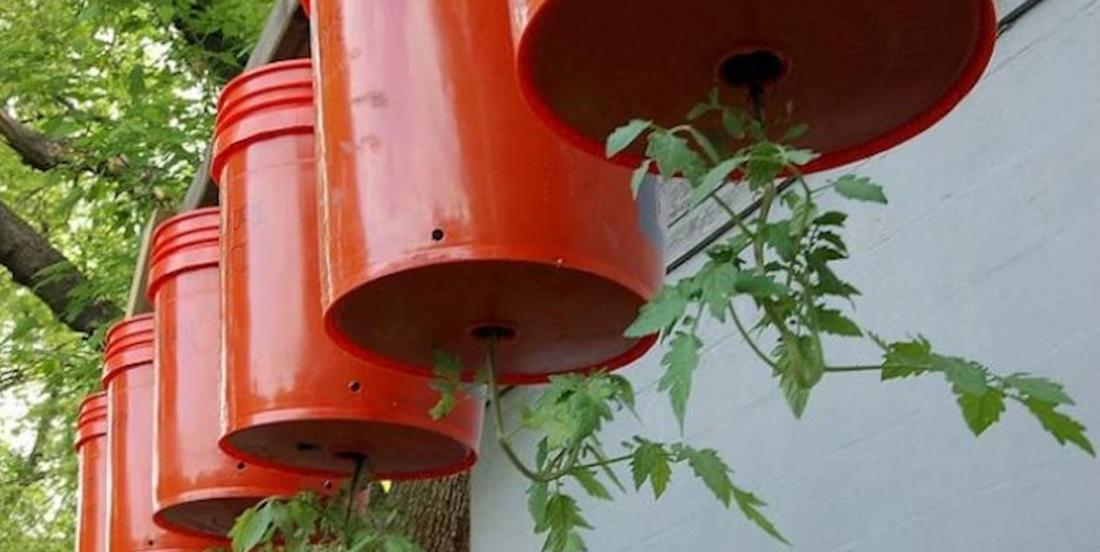 Here's how to grow tomato plants upside down!