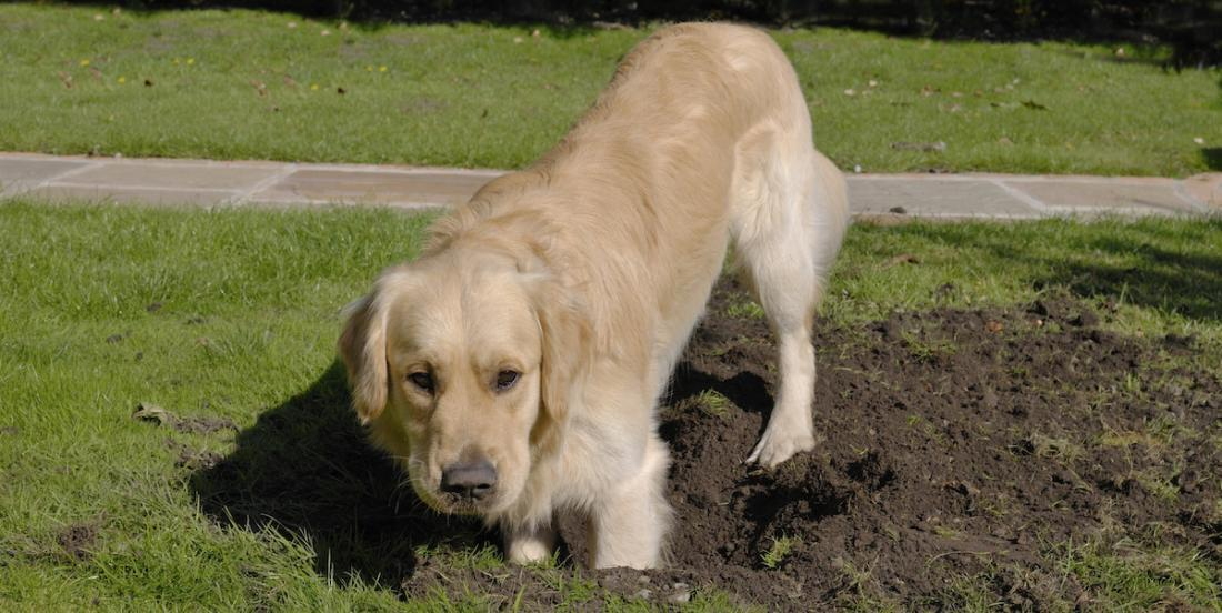 Is your dog digging holes in the yard? Here are the reasons and the solutions!