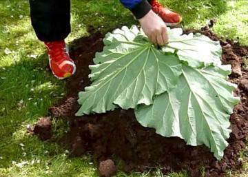 He lays 4 leaves of rhubarb on a mound of soil! I had never seen see before!